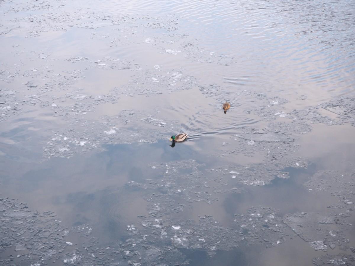 Winter in Berlin Spree Ente